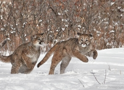 mountain-lion-puma-3547-montana-copyright-photographers-on-safari-com