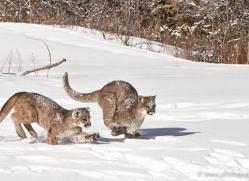 mountain-lion-puma-3553-montana-copyright-photographers-on-safari-com