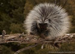 porcupine3641-montana-copyright-photographers-on-safari-com
