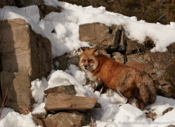 red-fox-3661-montana-copyright-photographers-on-safari-com