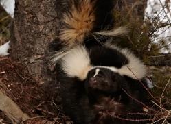 skunk-3664-montana-copyright-photographers-on-safari-com