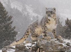 snow-leopard-3470-montana-copyright-photographers-on-safari-com