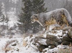 snow-leopard-3471-montana-copyright-photographers-on-safari-com