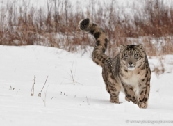 snow-leopard-3476-montana-copyright-photographers-on-safari-com