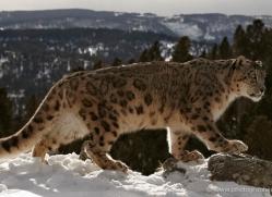 snow-leopard-3483-montana-copyright-photographers-on-safari-com