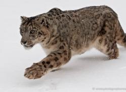 snow-leopard-3484-montana-copyright-photographers-on-safari-com