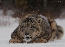 snow-leopard-3490-montana-copyright-photographers-on-safari-com