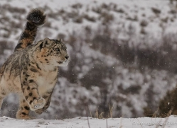 snow-leopard-3495-montana-copyright-photographers-on-safari-com