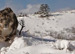 snow-leopard-3498-montana-copyright-photographers-on-safari-com