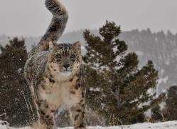 snow-leopard-3504-montana-copyright-photographers-on-safari-com