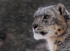 snow-leopard-3508-montana-copyright-photographers-on-safari-com