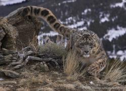 snow-leopard-3509-montana-copyright-photographers-on-safari-com