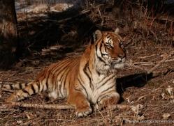tiger-tiger-in-snow-3674-montana-copyright-photographers-on-safari-com