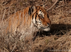 tiger-tiger-in-snow-3676-montana-copyright-photographers-on-safari-com