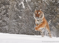 tiger-tiger-in-snow-3680-montana-copyright-photographers-on-safari-com
