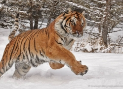 tiger-tiger-in-snow-3681-montana-copyright-photographers-on-safari-com