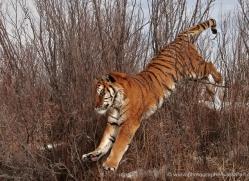 tiger-tiger-in-snow-3685-montana-copyright-photographers-on-safari-com