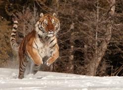 tiger-tiger-in-snow-3689-montana-copyright-photographers-on-safari-com