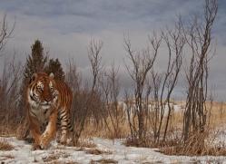 tiger-tiger-in-snow-3691-montana-copyright-photographers-on-safari-com