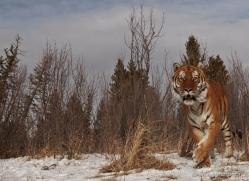 tiger-tiger-in-snow-3692-montana-copyright-photographers-on-safari-com