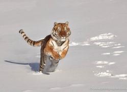 tiger-tiger-in-snow-3693-montana-copyright-photographers-on-safari-com