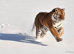 tiger-tiger-in-snow-3694-montana-copyright-photographers-on-safari-com