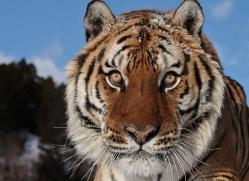 tiger-tiger-in-snow-3695-montana-copyright-photographers-on-safari-com