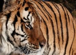 tiger-tiger-in-snow-3696-montana-copyright-photographers-on-safari-com