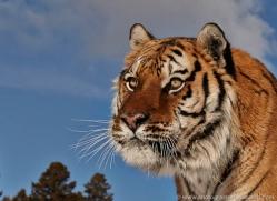 tiger-tiger-in-snow-3697-montana-copyright-photographers-on-safari-com
