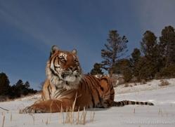 tiger-tiger-in-snow-3698-montana-copyright-photographers-on-safari-com