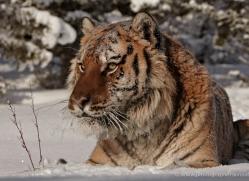 tiger-tiger-in-snow-3700-montana-copyright-photographers-on-safari-com