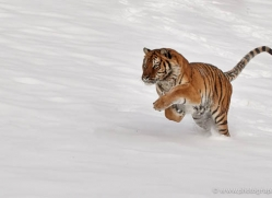 tiger-tiger-in-snow-3702-montana-copyright-photographers-on-safari-com