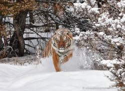 tiger-tiger-in-snow-3705-montana-copyright-photographers-on-safari-com