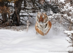 tiger-tiger-in-snow-3706-montana-copyright-photographers-on-safari-com