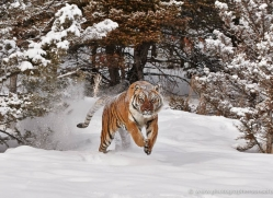 tiger-tiger-in-snow-3707-montana-copyright-photographers-on-safari-com