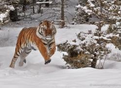 tiger-tiger-in-snow-3708-montana-copyright-photographers-on-safari-com