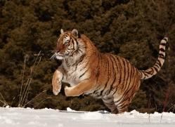 tiger-tiger-in-snow-3710-montana-copyright-photographers-on-safari-com