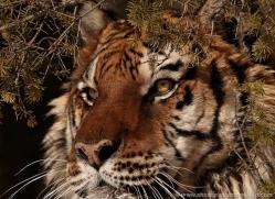 tiger-tiger-in-snow-3711-montana-copyright-photographers-on-safari-com