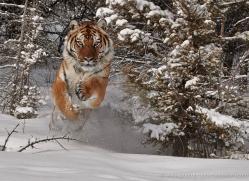 tiger-tiger-in-snow-3712-montana-copyright-photographers-on-safari-com