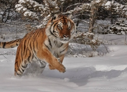 tiger-tiger-in-snow-3713-montana-copyright-photographers-on-safari-com