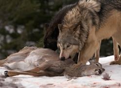 wolf-3554-montana-copyright-photographers-on-safari-com