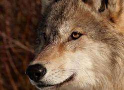 wolf-3555-montana-copyright-photographers-on-safari-com