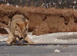 wolf-3556-montana-copyright-photographers-on-safari-com