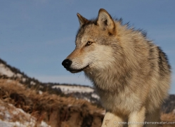 wolf-3557-montana-copyright-photographers-on-safari-com