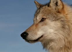 wolf-3558-montana-copyright-photographers-on-safari-com