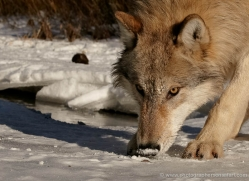 wolf-3559-montana-copyright-photographers-on-safari-com