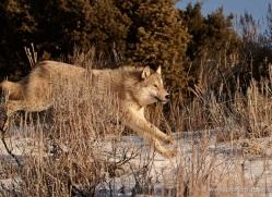wolf-3561-montana-copyright-photographers-on-safari-com