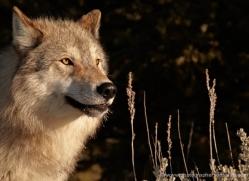 wolf-3562-montana-copyright-photographers-on-safari-com