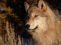 wolf-3563-montana-copyright-photographers-on-safari-com