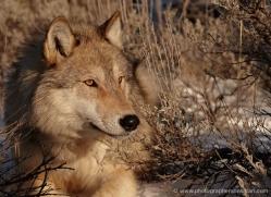 wolf-3564-montana-copyright-photographers-on-safari-com
